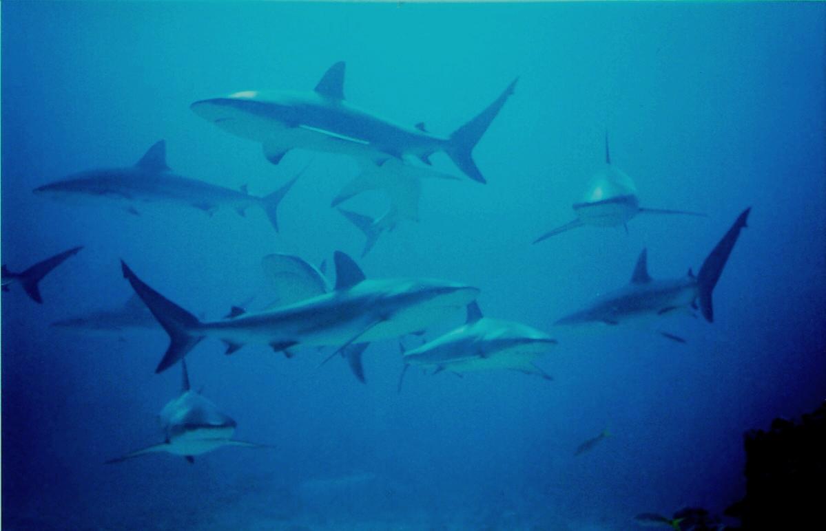 Kona Diving Company >> Snorkeling with the Manta Rays at the Sheraton Kona Resort ...
