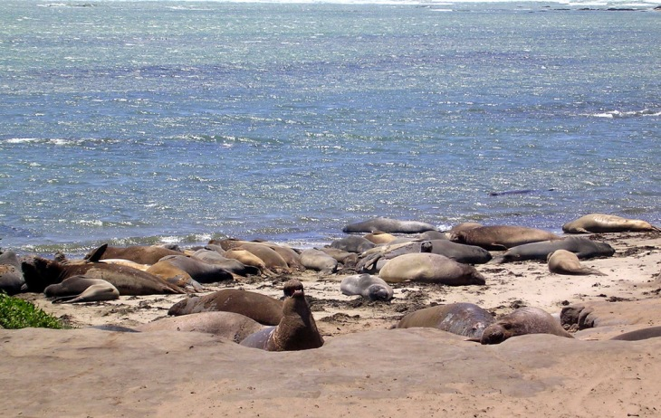 The First Elephant Seal Sightings At Ano Nuevo Began In 1950s Pups Were Born On Mainland 70s And By Mid 90s Number Of